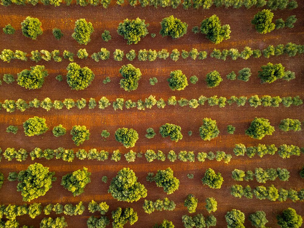 La piana degli ulivi 1